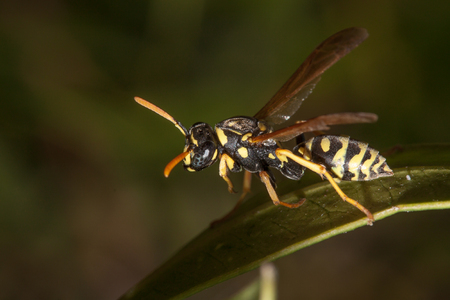 wasp resting on a leaf in a meadow Stock Photo