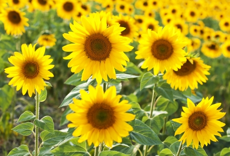 a field of sunflowers in summer photo