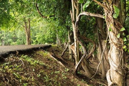 tropical tree: ra�ces de los �rboles tropicales retorcidas en la selva tropical