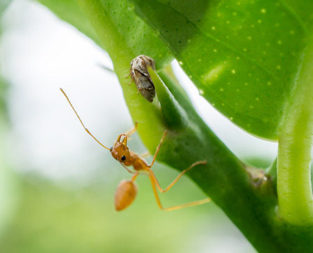 hormiga hoja: hormiga roja con el árbol y hojas