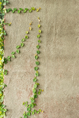 creeper: Coat buttons or Mexican daisy on the wall Stock Photo