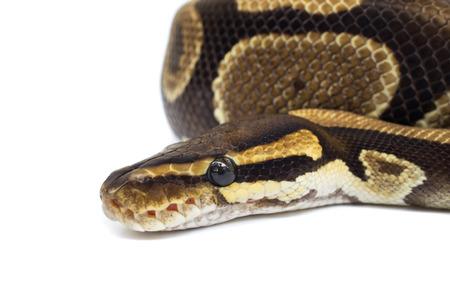 Ball Python (Python regius), in studio against a white background. Stock Photo