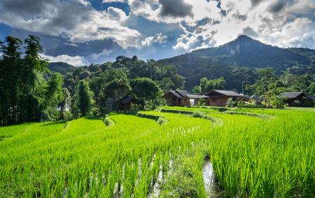 Landscape rice field in chiang mai