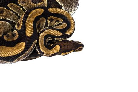 serpentes: Ball Python (Python regius), in studio against a white background. Stock Photo