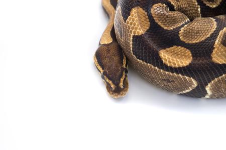 ball python: Ball Python (Python regius), in studio against a white background. Stock Photo