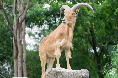 brown goat: Mountain Goat in forest , male
