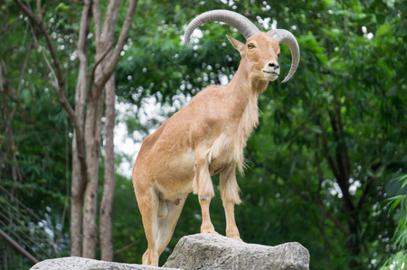 mountain goats: Mountain Goat in forest , male