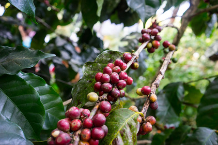 Coffee seeds on a coffee tree