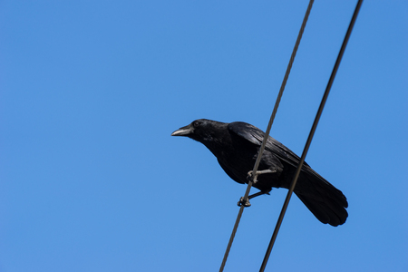 crow with line