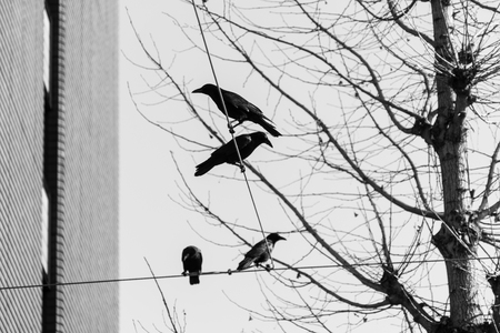 Crow , Black and white