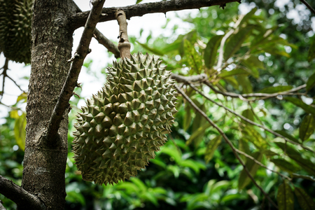 Monthong durian on tree branch Stock Photo