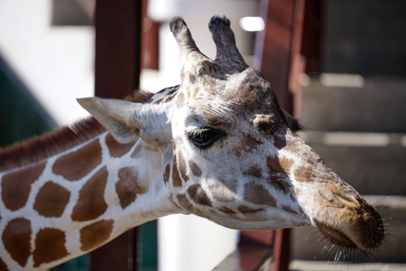 close up portrait of a giraffe , head shot