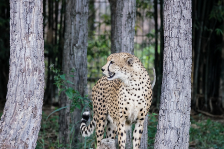 A young white leopard in jungle