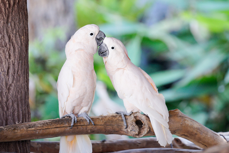 Couple of white parrot on the tree branch in the zoo