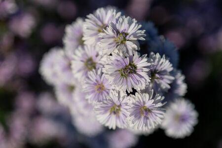 Close-up of purple margaret flower field. 版權商用圖片