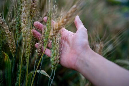 Ripe wheat in the farmer hands on the wheat fields. Farmer hands touching wheat field, harvest.