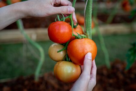 Farmers hands with fresh harvested tomatoes.