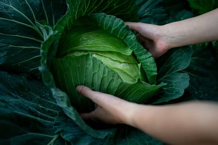 Closeup of farmers hands harvest a cabbage in the garden.