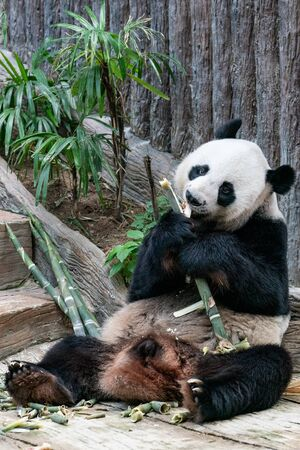Giant Panda eats bamboo in the park. Imagens