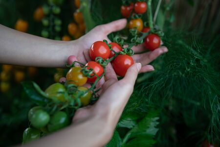 Closeup of farmers hands harvest a Tomato in the garden. Farmers hands with fresh tomatoes.