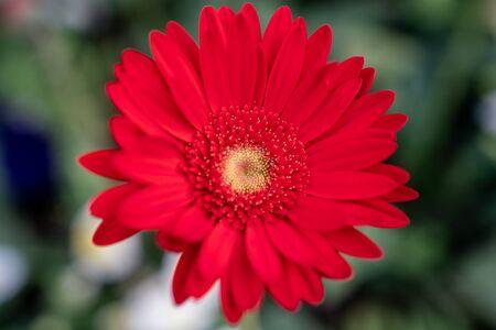 Red Gerbera flower closeup view background.