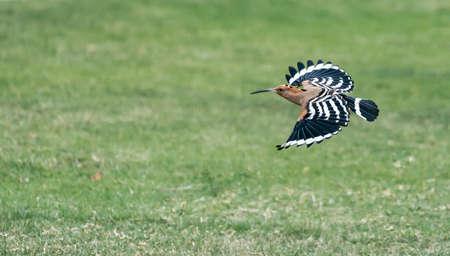 Eurasian hoopoe (Upupa epops) flying searching for food on the green yard.