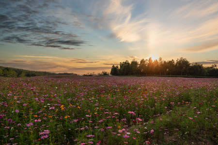 Colorful Cosmos flower field blooming on sunset. Stockfoto