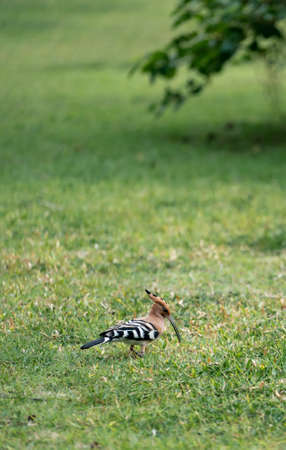 Eurasian hoopoe (Upupa epops) walking searching for food on the green yard.
