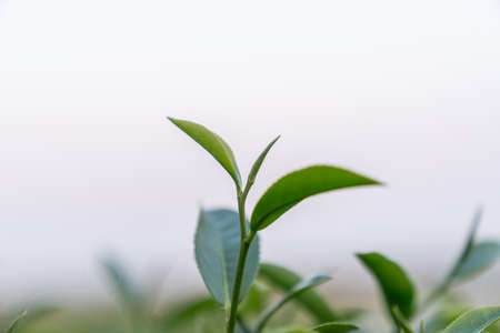 Top of Green tea leaf in the morning blurred background. Closeup.