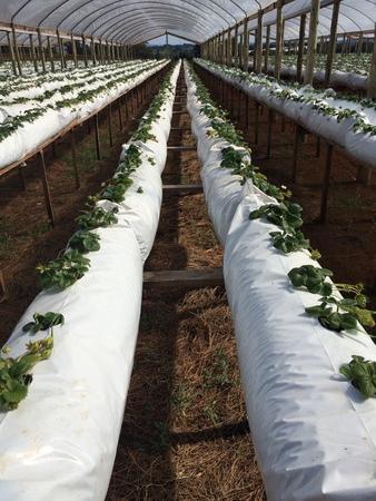 strawberry suspended Stok Fotoğraf