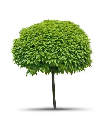 catalpa: Isolated tree Catalpa- white background Stock Photo