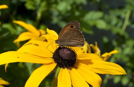 Rudbeckia yellow - butterfly feeding on a flower  photo