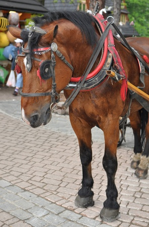Horse in Tatry - Zakopane main street  photo