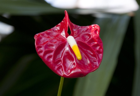 Anthurium in the Garden, Botanical park photo