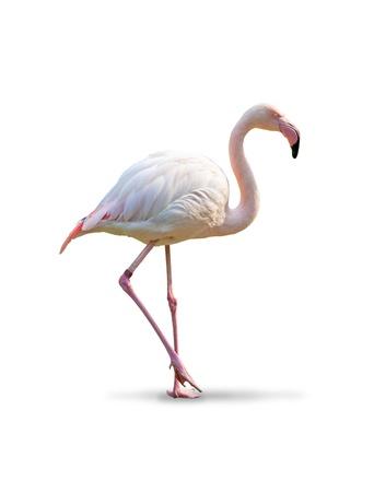 flamingos: Flamingo - white background