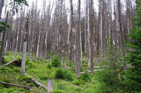 acids: Destroyed forest, dry tree, - Polish Tatra mountains  Stock Photo