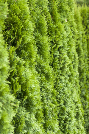 conifer: Closeup photo of green conifer hedge