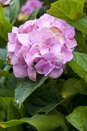 hydrangea macrophylla: close up photo of pink Hydrangea macrophylla