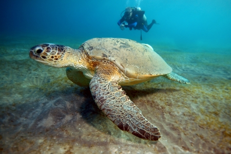 large turtle: Sea turtle with diver in Red Sea, Marsa Alam, Egypt Stock Photo