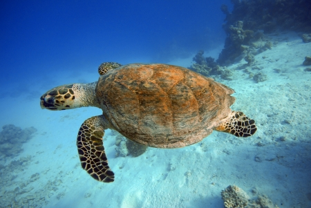 Huge turtle underwater in Red Sea - Egypt photo