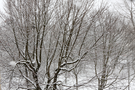 flurry: Trees while snow flurry. Winter background.
