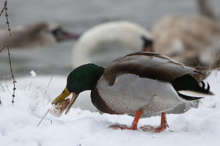 Birds on frozen lake at winter. Duck eating
