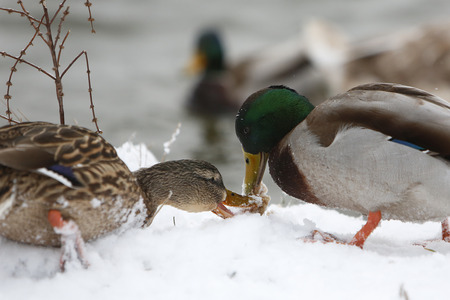 Birds on frozen lake at winter. Two ducks eating