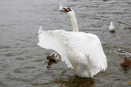 Birds on frozen lake at winter. Trumpeter swan