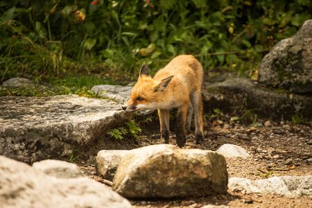 Wild young fox in the zoo