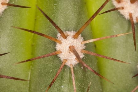 carnegiea: cactus needle background