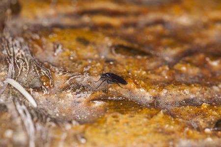 wet flies: small black fly Stock Photo
