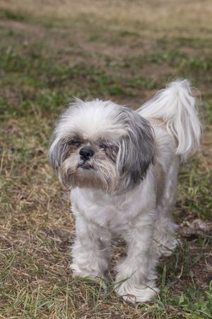 shih tzu: Shih Tzu dog