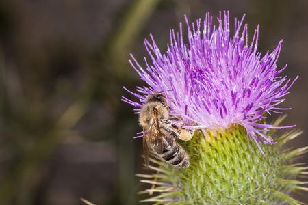 bee on flower: big bee on the flower