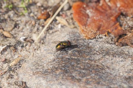 sicken: Gold fly eats a rotten apple